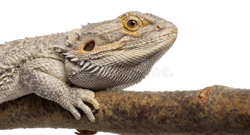 Close-up Of Pogona Lying On A Branch Royalty Free Stock Photography