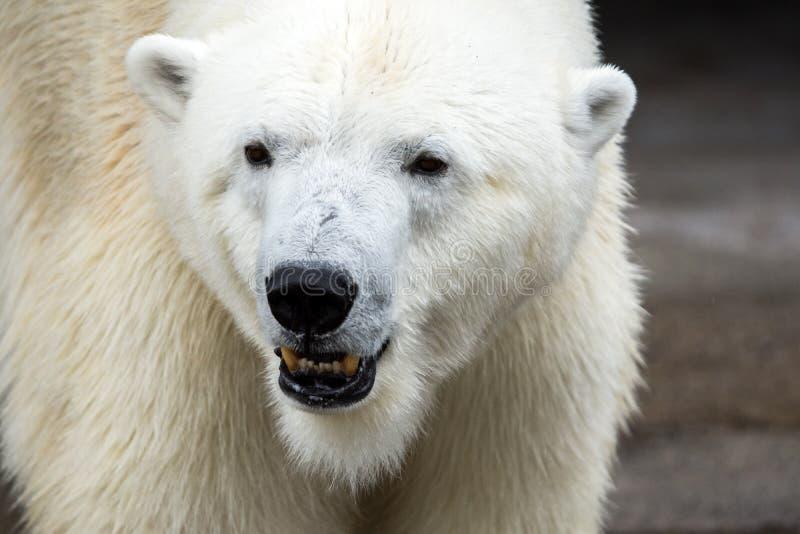 Close up Polar bear (Ursus maritimus) face. A big dangerous animal royalty free stock photography