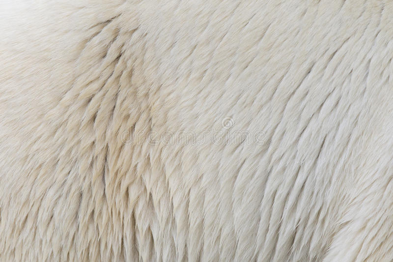 Close-up of a polarbear stock image