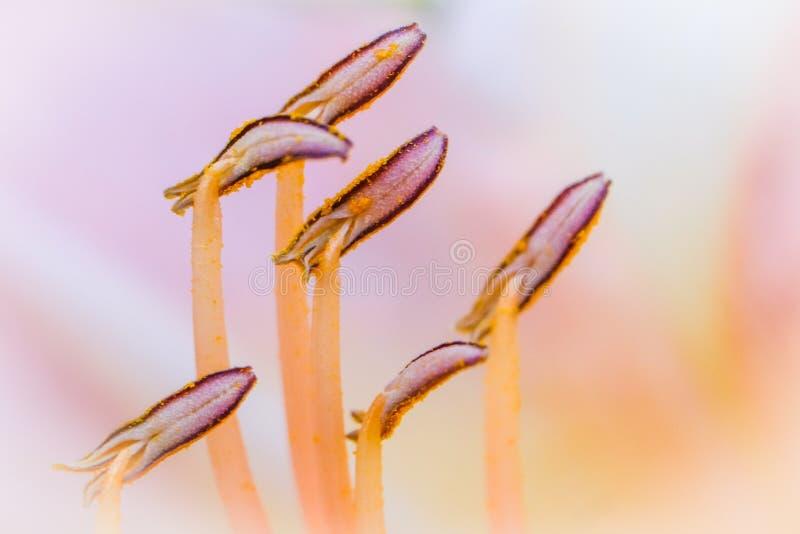 Pollinatet flower pistils. Close-up on pollinatet flower pistils in orange and violet colors stock photography