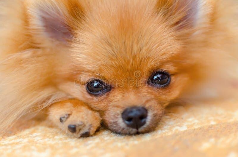 Close up pomeranian do spitz do cachorrinho bonito, foco seletivo fotos de stock royalty free