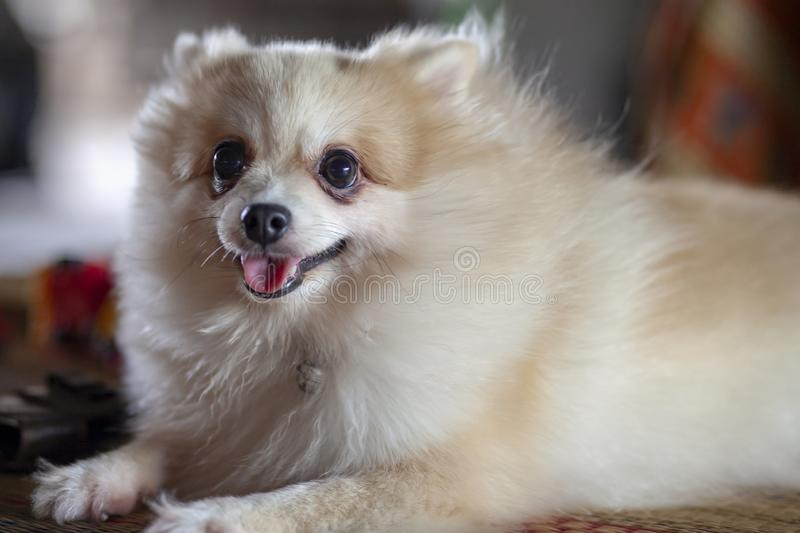 Close up Pomeranian dog sit down on table stock image