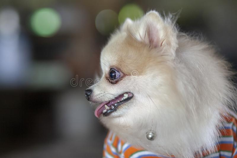 Close up Pomeranian dog with Wear shirt and sit down royalty free stock image