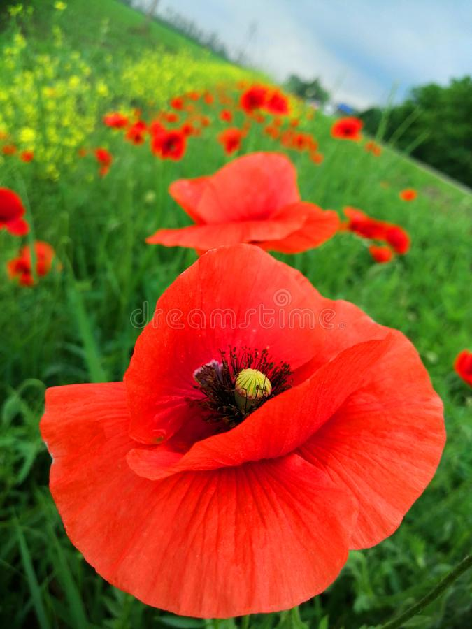Close-up poppies against the green field royalty free stock photos