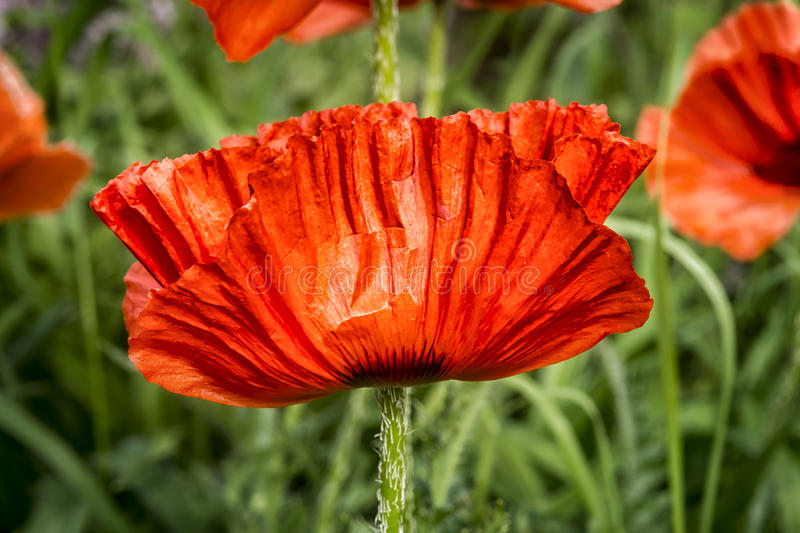 Close up poppy flower. As you can see in these beautiful pictures, Poppies flowers are one of the most gorgeous and flexible garden plants in the world. You can royalty free stock images