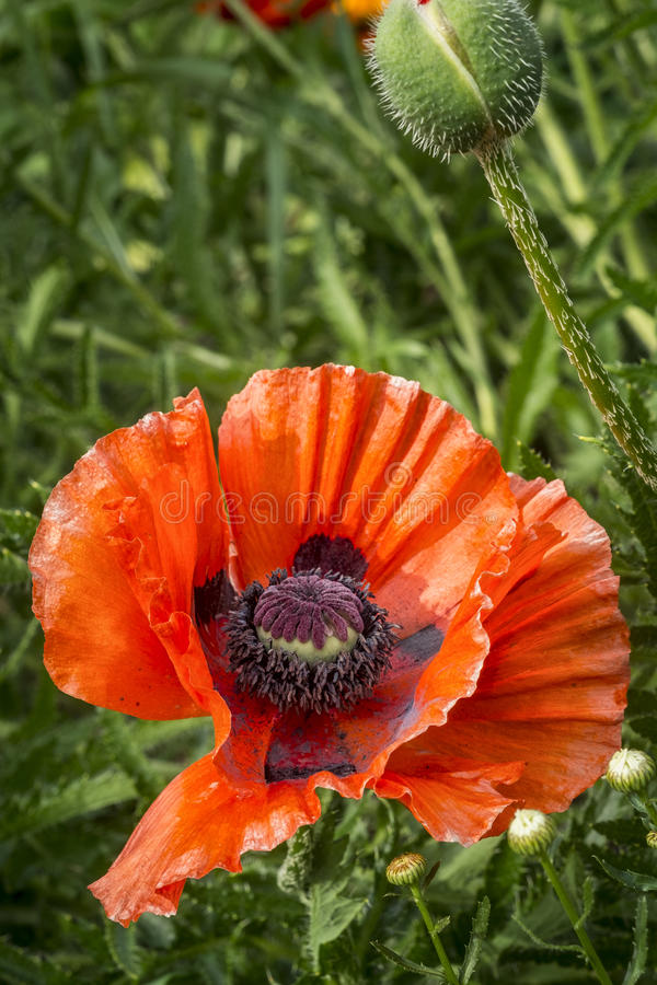 Close up poppy flower. As you can see in these beautiful pictures, Poppies flowers are one of the most gorgeous and flexible garden plants in the world. You can stock photos