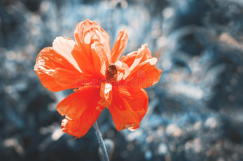 Close-up of a poppy flower on a long stem on grass background. Tinted in vintage style royalty free stock photography