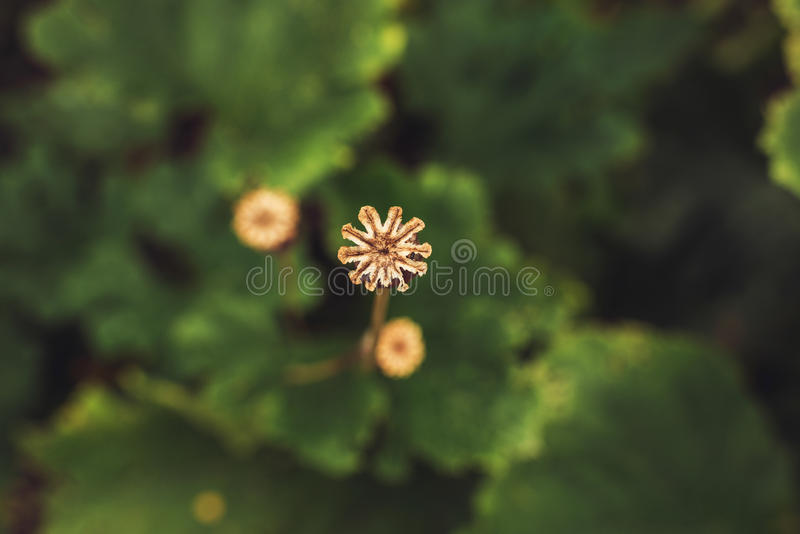 Close-up of Poppy Seed Head with Blurred Green Leafs in Background. Top View. stock photography
