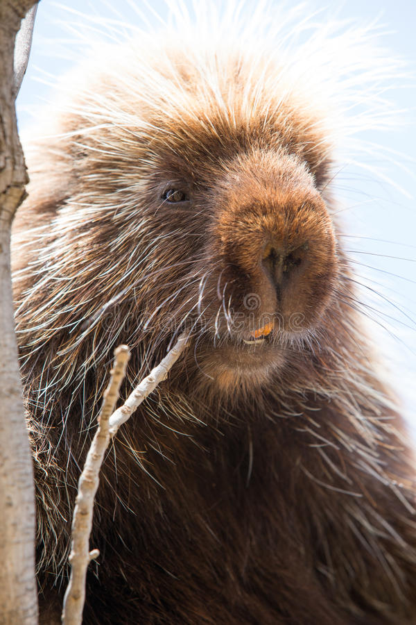 Close-up of porcupine with yellow teeth stock photos
