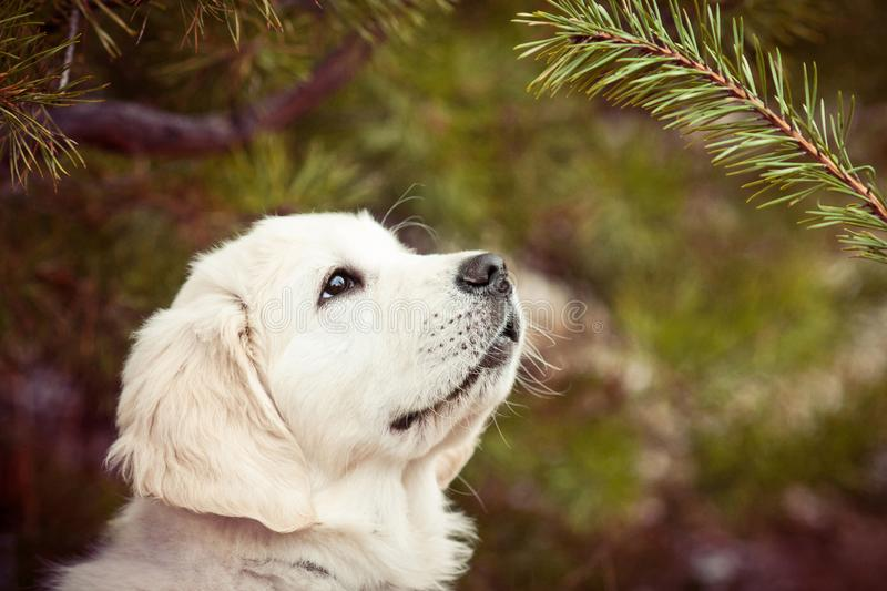 Adorable golden retriever puppy looking at fir tree branch royalty free stock photography