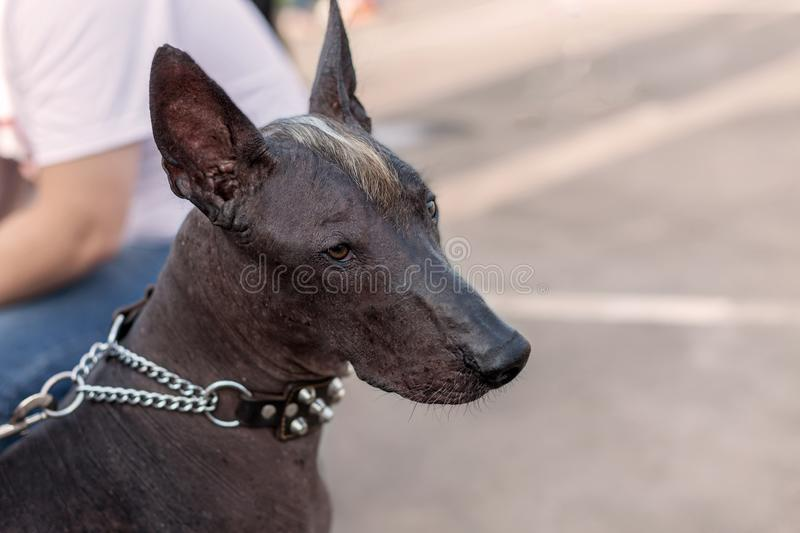 Close-up portrait of adult Xolotizcuintle dog Mexican Hairless, male standard size. Beautiful dog with red-n-white mohawk on the head, with harsh and clever royalty free stock photography