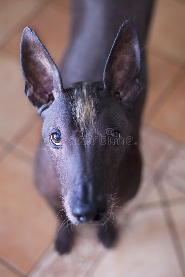 Close-up portrait of adult Xolotizcuintle dog Mexican Hairless, male standard size. Beautiful dog with red-n-white mohawk on the. Head, with harsh and clever royalty free stock photo