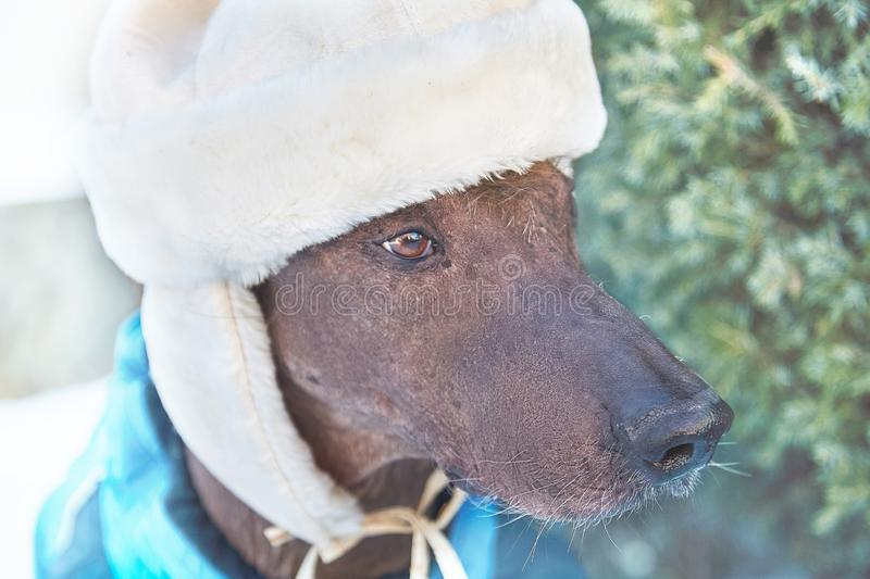 Close-up portrait of adult Xolotizcuintle dog Mexican Hairless in winter hat and clothes. Beautiful purebred dog with harsh and. Close-up portrait of adult stock image
