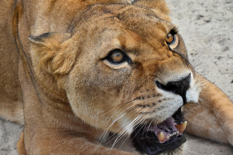 Close up portrait of angry furious lioness roar. Close up portrait of beautiful mature female African lioness, angry teething, roaring and looking aside of royalty free stock image