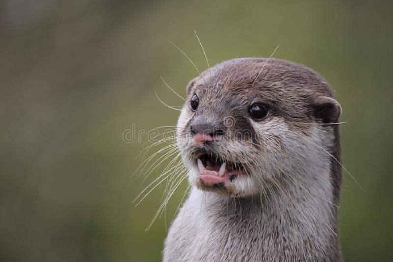 Close up portrait of an Asian or Oriental small clawed otter Ao stock photo