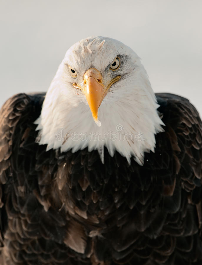 Download Close-up Portrait Of Bald Eagle Royalty Free Stock Image - Image: 23235206
