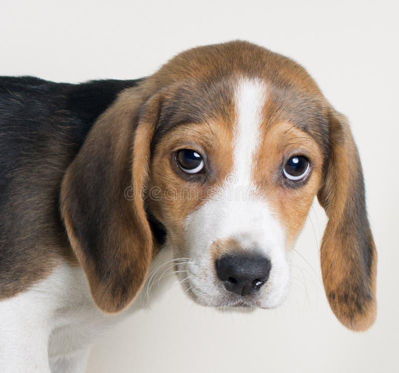 Close-up portrait of Beagle dog looking at camera on white bakcground stock images