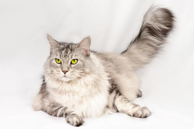 Close up portrait of beautiful adult maine coon cat with brand sight. Silver tabby serious cat. royalty free stock image