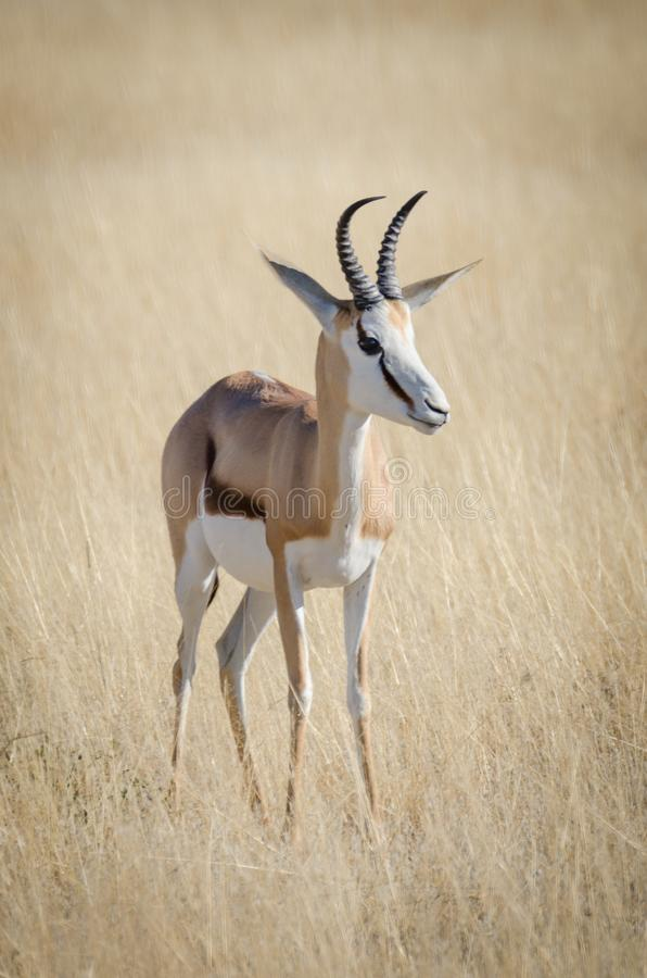 Close-up portrait of beautiful African springbok gazelle in front of dry grass, Etosha National Park, Namibia, Africa stock photos