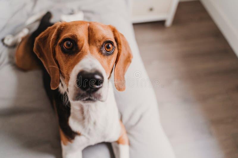 close up portrait of beautiful beagle dog at home stock photos