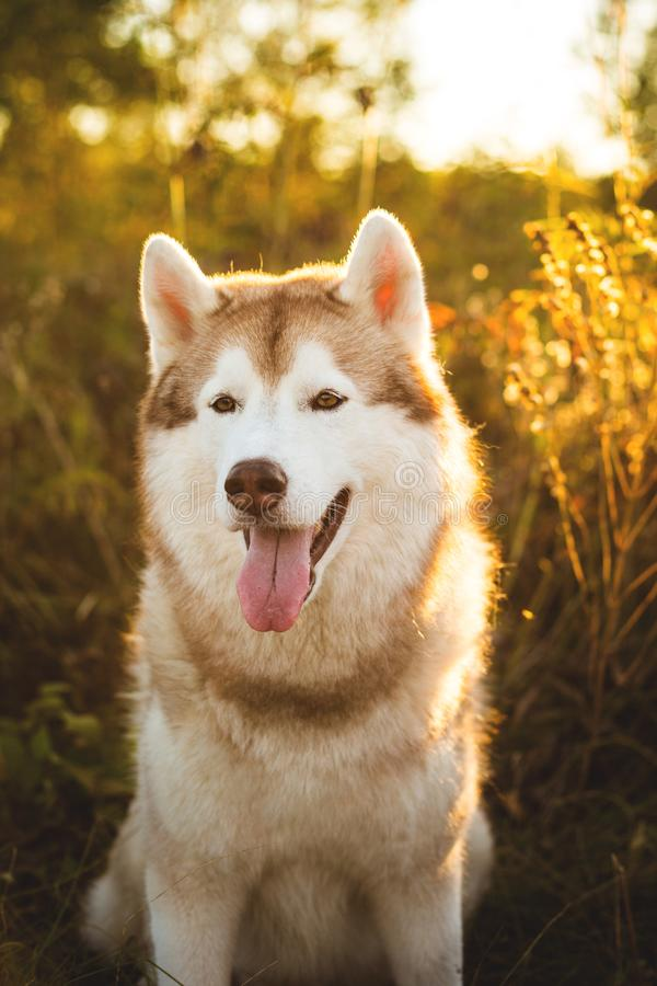 Close-up Portrait of beautiful beige and white siberian husky dog sitting in the dogrose bushes at sunset in fall royalty free stock images