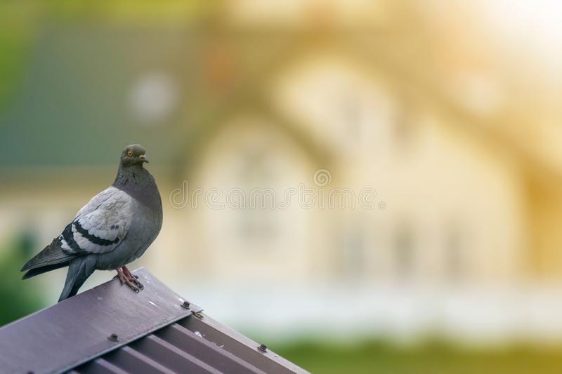 Close-up portrait of beautiful big gray and white grown pigeon with orange eye perching on the edge of brown metal tile roof on. Blurred bright green bokeh stock photo