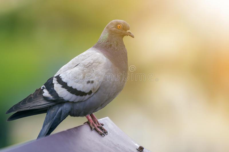 Close-up portrait of beautiful big gray and white grown pigeon with orange eye perching on the edge of brown metal tile roof on. Blurred bright green bokeh royalty free stock photos