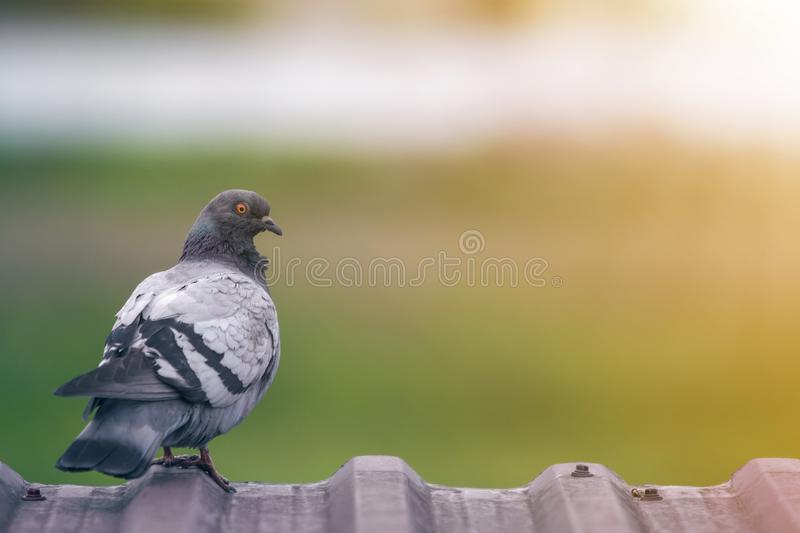 Close-up portrait of beautiful big gray and white grown pigeon with orange eye perching on the edge of brown metal tile roof on. Blurred bright green bokeh royalty free stock photo