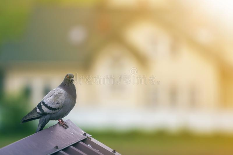 Close-up portrait of beautiful big gray and white grown pigeon with orange eye perching on the edge of brown metal tile roof on. Blurred bright green bokeh royalty free stock images
