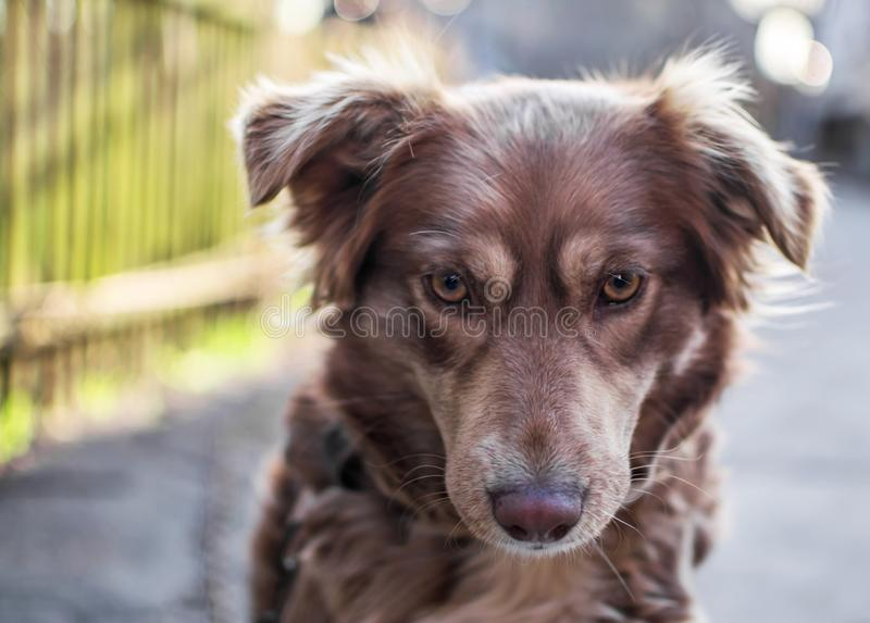 Close-up portrait of Beautiful brown dog looking down sitting outside in yard on old wooden fence blurred background. Emotions and. Feelings of dog, hurt and royalty free stock photo