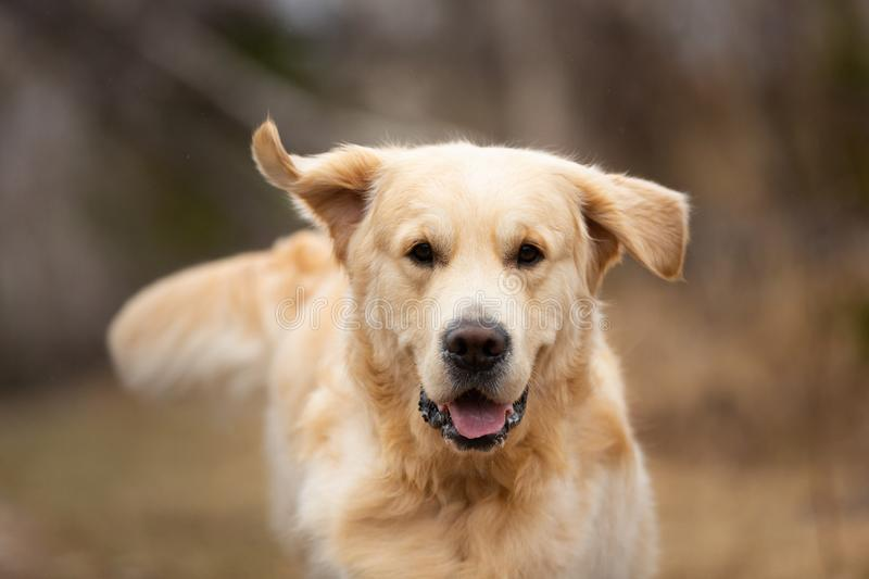 Beautiful, cute and happy dog breed golden retriever running in the forest and has fun at sunset. Close-up Portrait of beautiful, cute and happy dog breed golden royalty free stock photo
