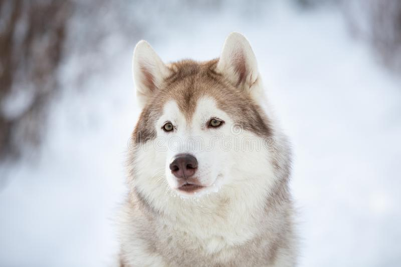 Close-up Portrait of beautiful, prideful and free Siberian Husky dog sitting on the snow in the fairy forest in winter stock photo