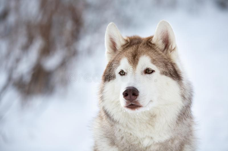 Close-up Portrait of beautiful, prideful and free Siberian Husky dog sitting on the snow in the fairy forest in winter royalty free stock images
