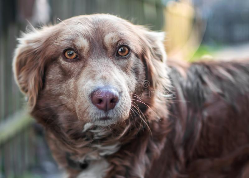 Close-up portrait of Beautiful smart brown dog looking into camera on old wooden fence blurred background. Emotions and feelings o. F dog, sadness, aggression stock photography
