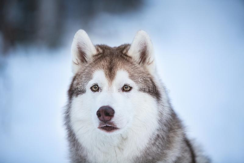 Close-up Portrait of beautiful, stoned and free Siberian Husky dog sitting on the snow in the dark forest in winter royalty free stock image