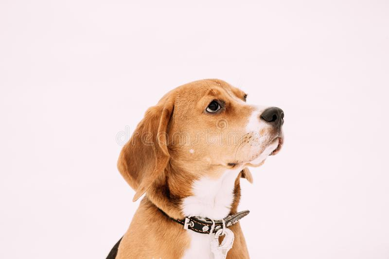 Close Up Portrait Of Beautiful Tricolor Puppy Of English Beagle On Snow Backround stock photography