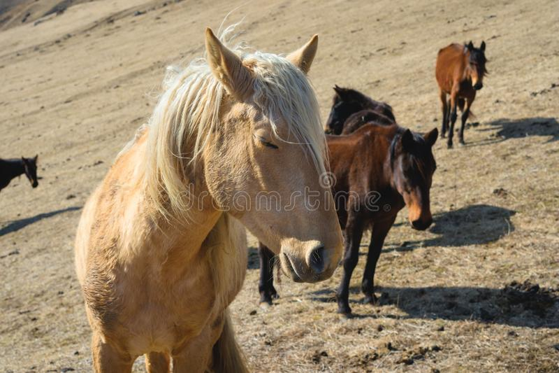 Close-up Portrait of a beige horse against the background of a herd of horses on yellow mountain autumn pastures stock photography