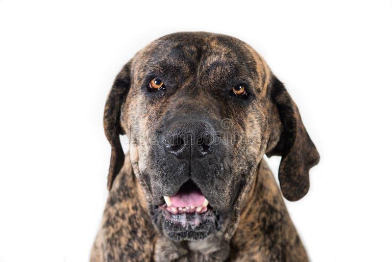 Close-up portrait of the big dog stock image