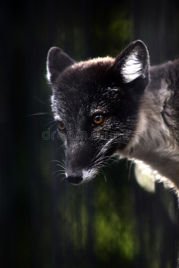 Close up portrait of black fox stock photos