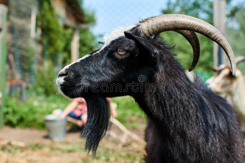 Portrait of a black goat with horns, closeup on the farm royalty free stock image