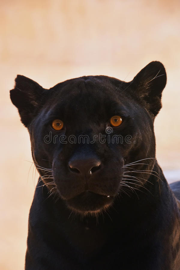 Close up portrait of black jaguar; Panthera onca stock image