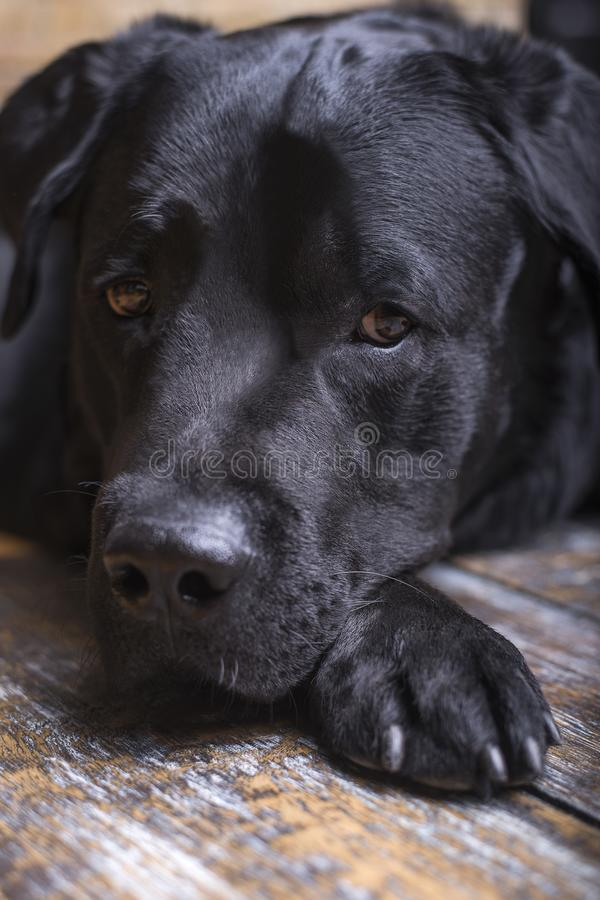 Close-up portrait of a black labrador retriever lies on his paw and looks sadly sidewayson a wooden floor. stock photography