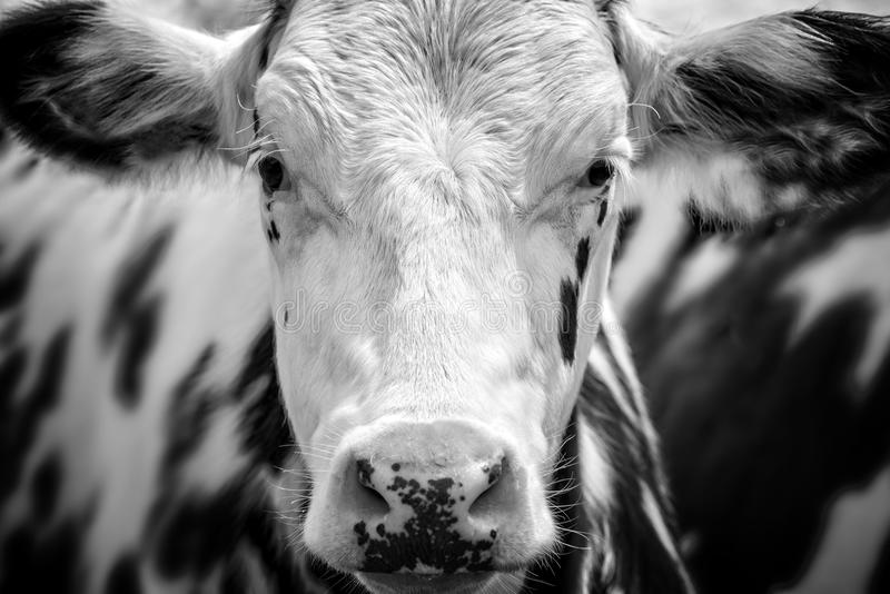 Close up portrait of a black and white cow stock photos