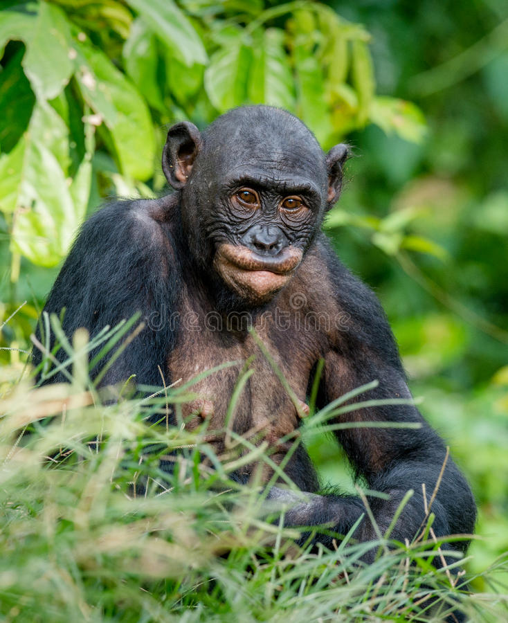 Download Close Up Portrait Of Bonobo. Stock Image - Image of cute, care: 83713513