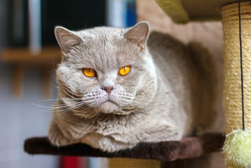Close-up portrait British shorthair lilac cat stock images