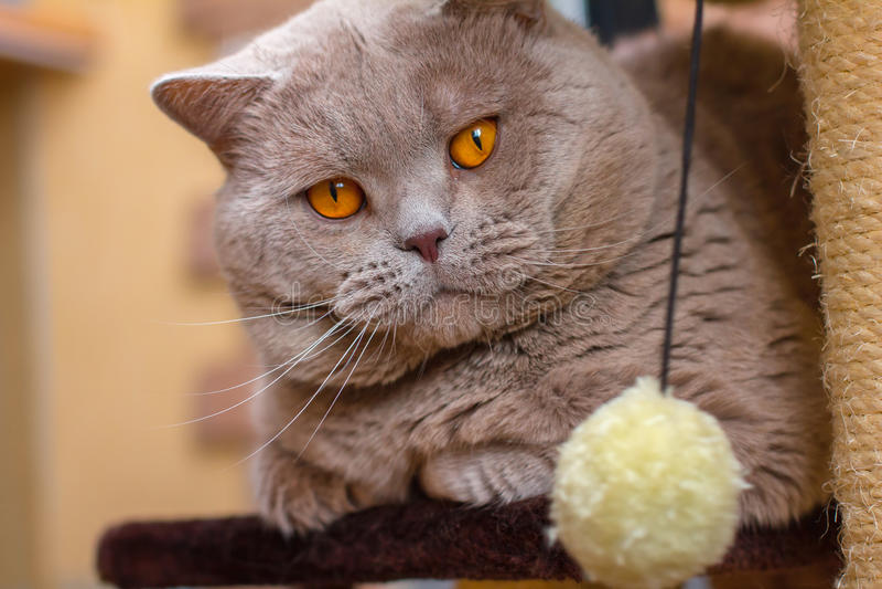 Close-up portrait British shorthair lilac cat stock image