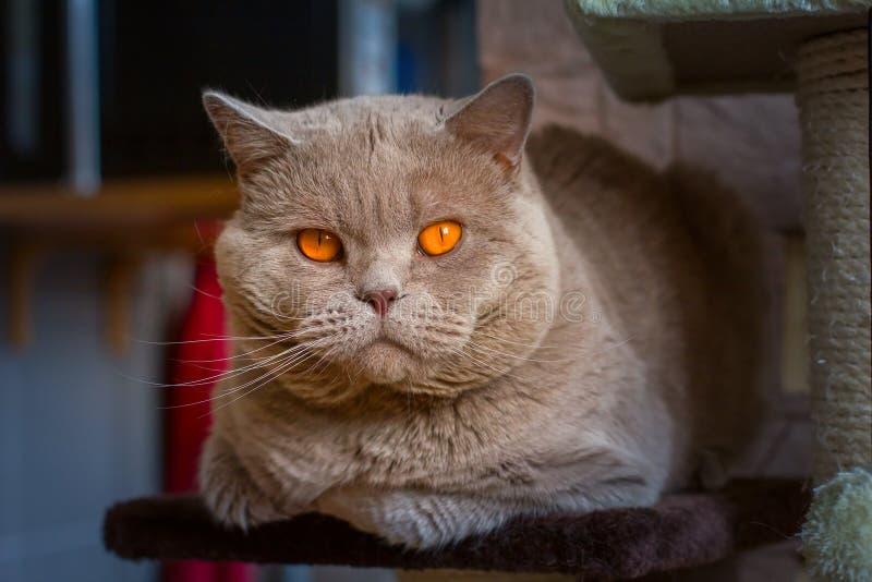 Close-up portrait British shorthair lilac cat stock photography