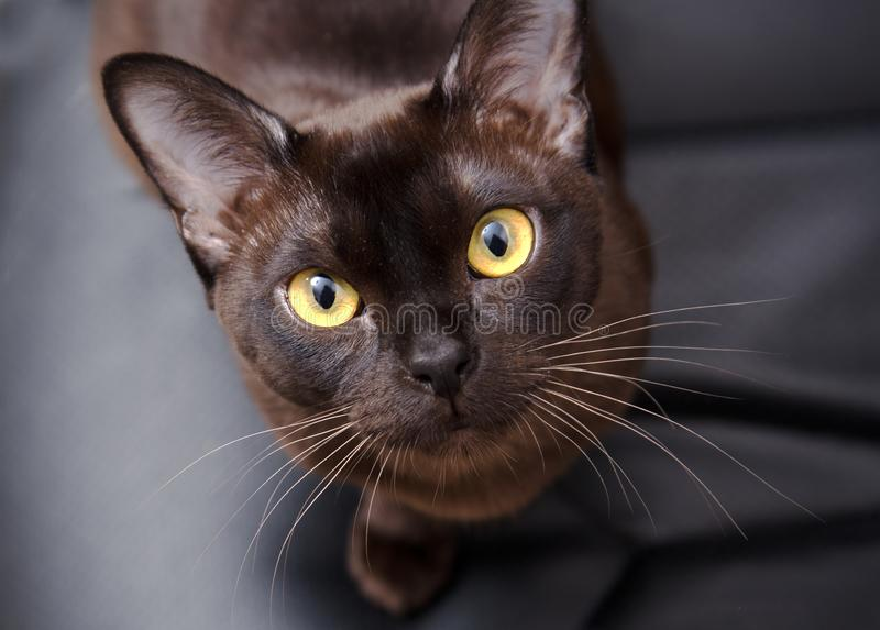 Close-up portrait of Brown Burmese Cat with Chocolate fur color and yellow eyes, Curious Looking, on black background European stock photography