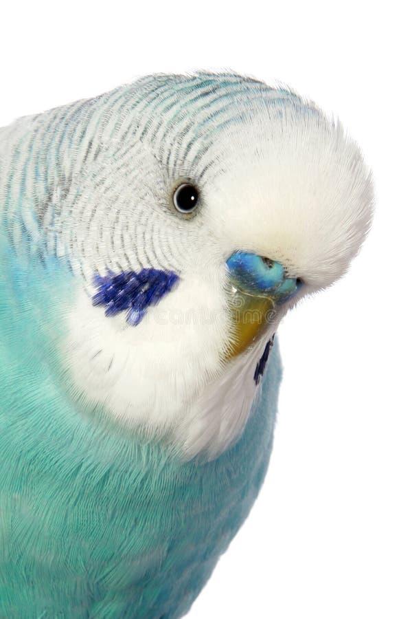 Close-up portrait of a budgerigar stock photos