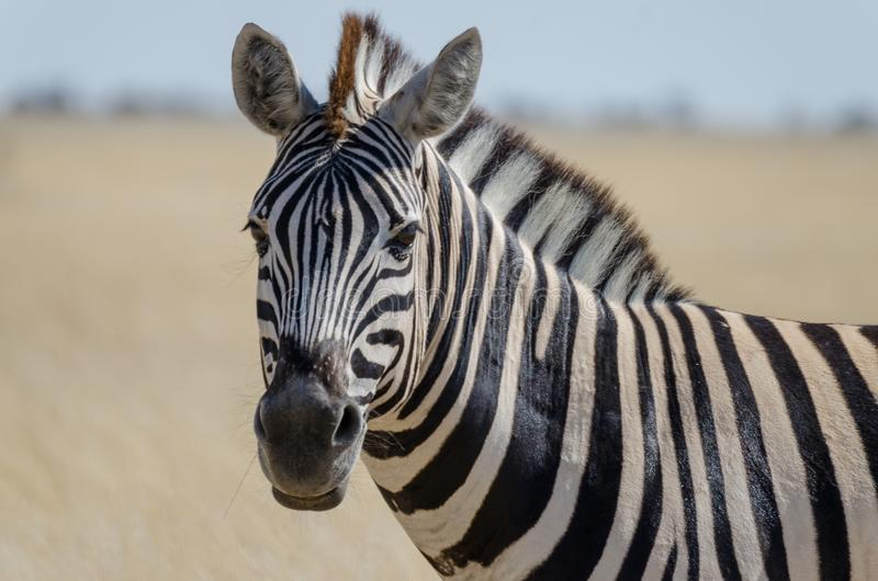 Close-up portrait of Burchells zebra in front of yellow grass, Etosha National Park, Namibia, Southern Africa royalty free stock image